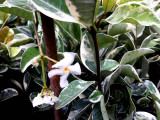 Trachelospermum Jasminoides Variegatum Jasmine 20-30cm in 2L Pot, Stunning Scent