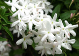 1 Jasmine/Jasmine Polyanthum 20-30cm Tall in 2L Pot, Fragrant White Flowers