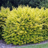 10 Golden Privet / Ligustrum Ovalifolium Aureum, 2-3ft Tall Supplied In 2L Pots