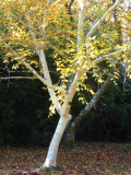 4 Silver Birch Jacquemontii 5-6ft Stunning Trees, Himalyan White Birch, Betula