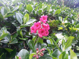 10 Escallonia Rubra Macrantha 2-3ft Tall in 2L Pots Evergreen Hedging Plants