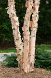 3 Betula Nigra / River Birch Trees, 40-60cm Tall, Stunning Peeling Bark