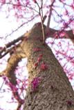 Copy of Cercis Siliquastrum / Judas / Love Tree / Redbud, 30-50cm Tall