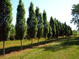 Hornbeam 'Fastigiata' 4-5ft Tall, Carpinus Betulus Upright Growing Tree