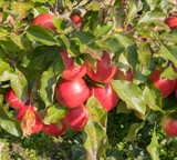 Red Falstaff Apple Tree 4-5ft Tall Feathered, Ready to fruit, Self-Fertile