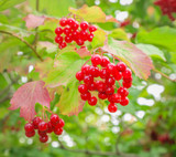 3 Guelder Rose / Viburnum Opulus, 2-3ft Tall in 1L Pots, Flowers & Berries