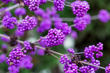 3 Callicarpa Bodinieri Giraldii Profusion / Beautyberry in 9cm Pots, Purple Berries