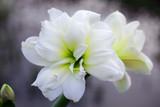 Hippeastrum 'Kolibri' White / White Amaryllis 2 Buds in 10.5cm Pot, Beautiful White