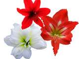 3 Mixed Hippeastrum 'Kolibri' / Amaryllis Red, White & Christmas Star in 10.5cm Pots