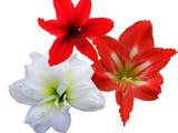 3 Mixed Hippeastrum 'Kolibri' / Amaryllis Red, White & Christmas Star in 10.5cm Pots