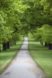 10 Evergreen Oak Tree 30-50cm 'Quercus Ilex', Ornamental Tree, Grow Acorns