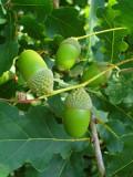 100 English Oak Trees 2-3ft Quercus Robur,Native Hedge Tree 60-90cm,Grow Acorns