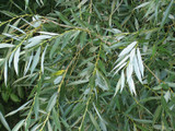 25 White Willow 4-5ft,Salix Alba Hedging Plants, Quick Growing Screen