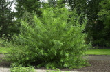 5 Common Osier Willow 4-5 ft,For Basket Making,Salix Viminalis Hedging Plants