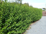 25 Green Privet Hedging Plants Ligustrum Hedge 40-60cm,Dense Evergreen,Big Pots