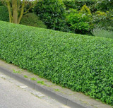 100 Wild Privet Hedging Ligustrum Plants Hedge 40-60cm,Quick Growing Evergreen