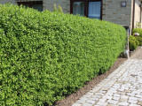 3 Wild Privet Hedging Ligustrum Plants Hedge 40-60cm,Quick Growing Evergreen
