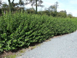 20 Green Privet Hedging Ligustrum Plants Hedge 40-60cm,Quick Growing Evergreen