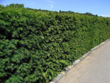 1 English Yew 1-2ft Hedging Plant, 4yr old Evergreen Hedge,Taxus Baccata Tree
