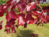 50 Copper Purple Beech 3-4ft Tall Hedging Trees, Stunning all Year Colour 90-120cm