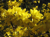 1 Forsythia intermedia 'Spectabilis' Hedging, 2-3ft Tall, Yellow Spring Flowers