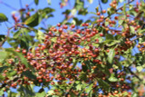 3 Crab Apple 4-5ft Tall Trees Native Malus Hedging,Make your own Cider & Jelly