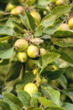 3 Crab Apple Trees  2-3ft Native Malus Hedging,Make your own Cider & Jelly