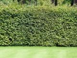 50 Green Beech Hedging Plants 120-150 cm,Copper Autumn Colour 4-5 ft Trees