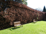 10 Green Beech Hedging Plants 120-150 cm,Copper Autumn Colour 4-5 ft Trees