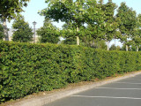 3 Hornbeam 4-5ft, Native Carpinus Betulus Hedging, Makes a Thick & Dense Hedge