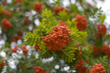 Mountain Ash (Rowan) Plant / 4-5ft Tall Sorbus Aucuparia Bird & Wildlife Food