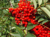 5 Mountain Ash (Rowan) Plants / 4-5ft Tall Sorbus Aucuparia Bird & Wildlife Food