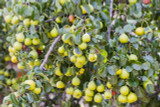 20 Wild Pear Trees 2-3ft,Pyrus Communis Hedging 60-90cm Strong Native Plants