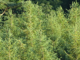 3 Japanese Larch Trees,2ft  Larix Plants, Different Colours Every Season