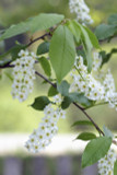 50 Bird Cherry Trees,Flowering &  Berries,2-3 ft Prunus Padus,Birds Love Them