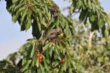 1 Bird Cherry Trees,Flowering &  Berries, 2-3ft Prunus Padus,Birds Love Them