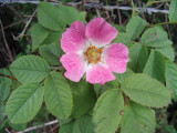 3 Dog Rose Hedging Plants 60-90cm  Rosa Canina,  Make Healthy Rose Hip Syrup