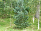 20 Scots Pine Trees 1-2ft Tall,Native Evergreen, Pinus Sylvestris 3yr old plants