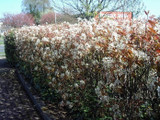 100 Snowy Mespilus 2-3ft Amelanchier Lamarckii hedging June Berry,Strong 2yr Old