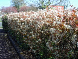 25 Snowy Mespilus 2-3ft Amelanchier Lamarckii hedging June Berry,Strong 2yr Old