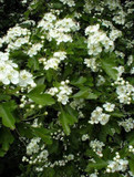 1 Hawthorn Hedging Plant, 4-5ft Hedge, Native Hawthorne, Quickthorn, Mayflower