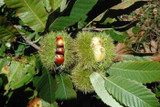 3 Sweet Chestnut Trees 2-3ft, Castanea Sativa Hedging,Grow Edible Nuts to Roast
