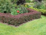 100 Purple Barberry Hedging Plants 1-2ft / Berberis Thunbergii Atropurpureum
