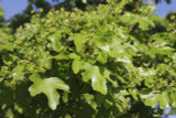 50 Field Maple Hedging, Native Trees Acer Campestre 2-3ft Plants,Autumn Colour