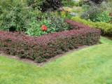 3 Purple Barberry Hedging Plants 1-2ft / Berberis Thunbergii Atropurpureum