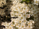 3 Hawthorn Hedging Plants, 3-4ft Extra Large Hedges, Native Hawthorne ,Quickthorn