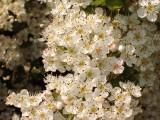 5 Hawthorn Hedging Plants, 3-4ft Extra Large Hedges, Native Hawthorne ,Quickthorn