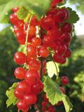 1 'Jonkheer van tets' Redcurrant / Ribes Rubrum Jonkheer van Tets' Multi-stemmed