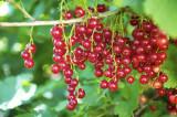 3 'Jonkheer van tets' Redcurrant / Ribes Rubrum Jonkheer van Tets' Multi-stemmed