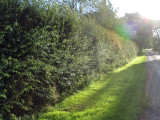 1 Hawthorn 2-3ft Hedging, Branched 2 Year Old Plant, Whitethorn, Quickthorn
